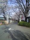 Hondoji_sakura
